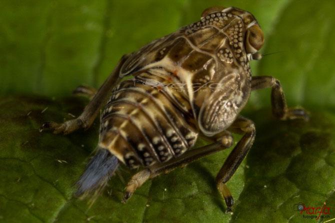 Käferzikade