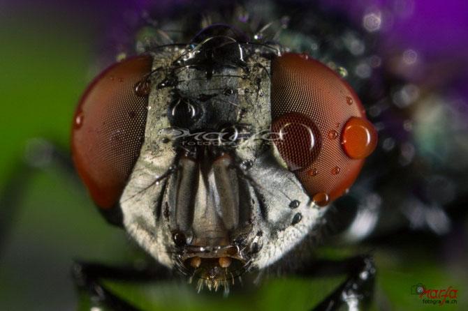 Fliegen Augen