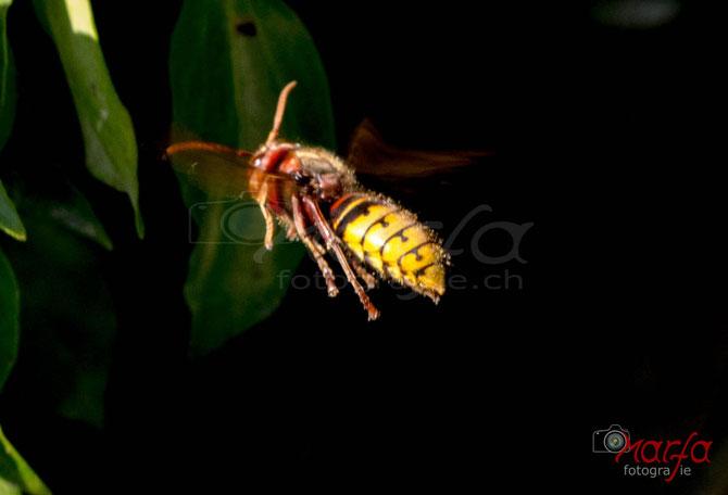 Hornussen Insekten