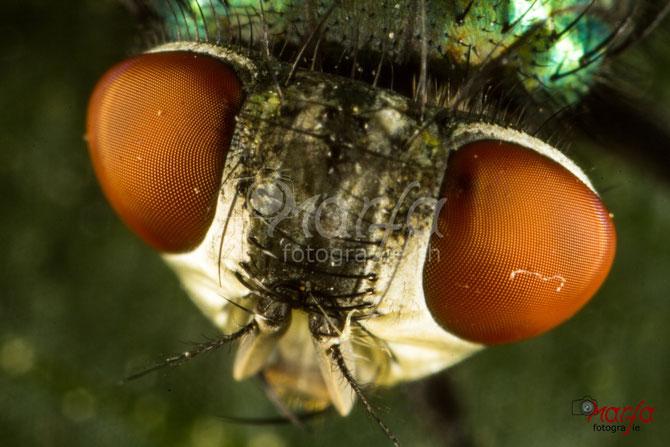 Makro Insekten Fliegen Augen Fotografie
