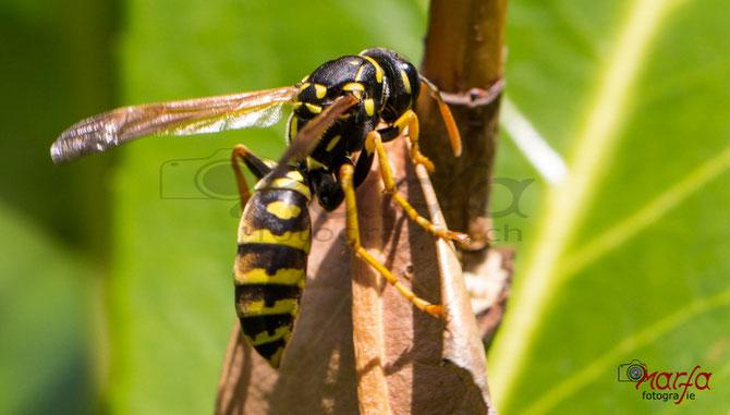Insekten Wespen