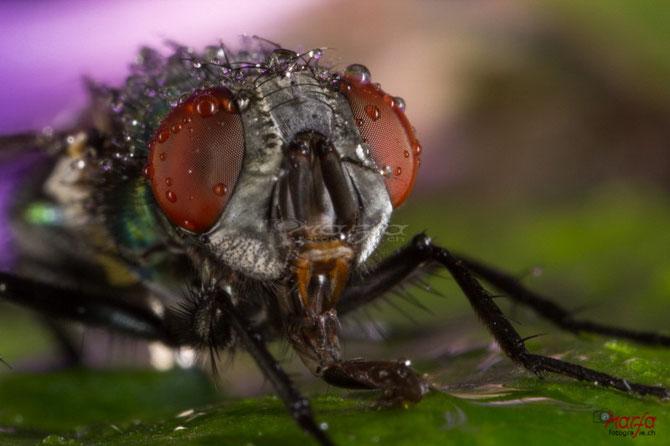 Fliege am Trinken