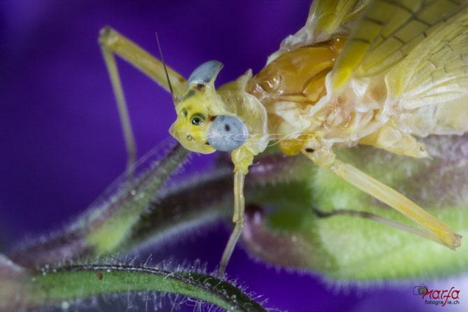 Mayfly Augen