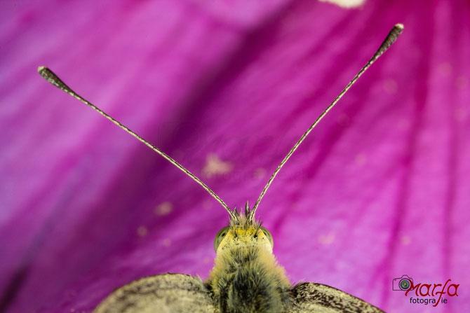 Schmetterlingsfühler