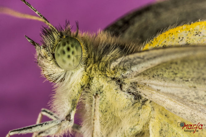 5 x Makro Schmetterling Auge
