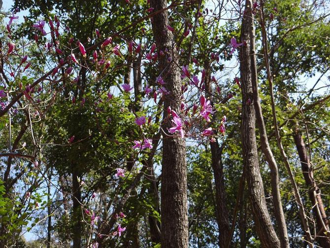 自然観察 コバノミツバツツジも咲き始めていました