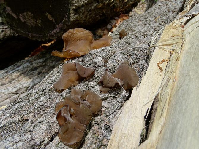 クヌギの伐倒木にキクラゲが生えている、触るだけ馴染みが薄い、シイタケは採るが。