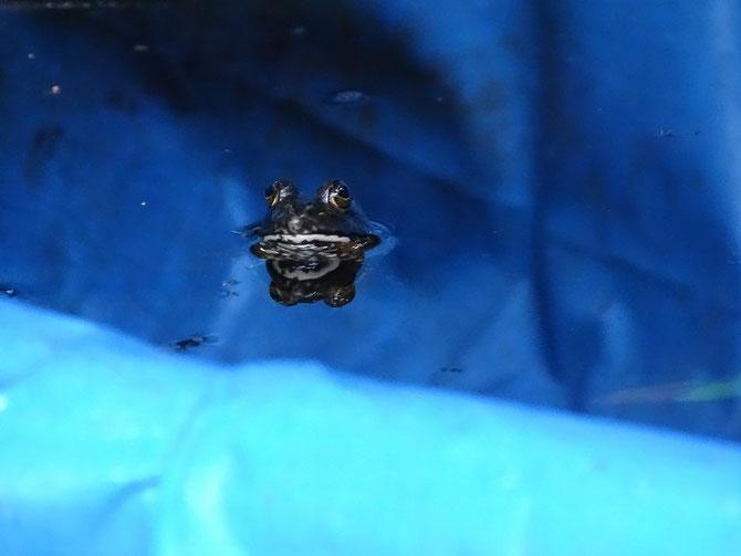ブルーシートの池に住み付いたカエル、水面から目を出して見張っています。