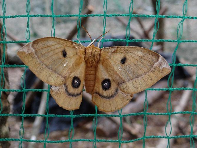 シイタケ栽培地のネットにヤママユガがとまって、カメラを向けると羽を広げてくれました。