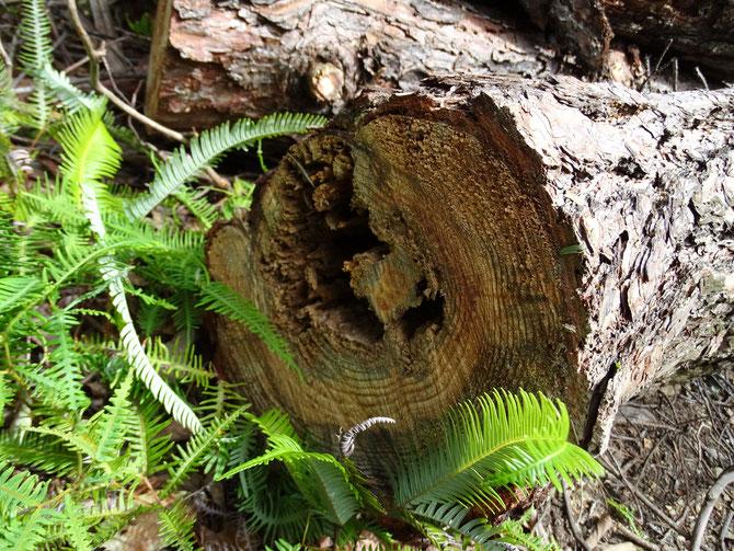 伐倒の写真を撮りに行ったら、玉切りも終わり積んでありました。心材が腐っています。