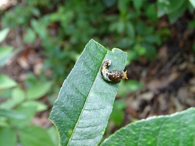 囲いの中、アゲハチョウの幼虫は、これしかいませんでした。