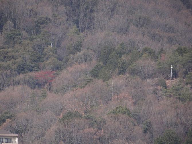 三平橋から、左タマミズキ、右展望台光もの、背比べではタマミズキが高い