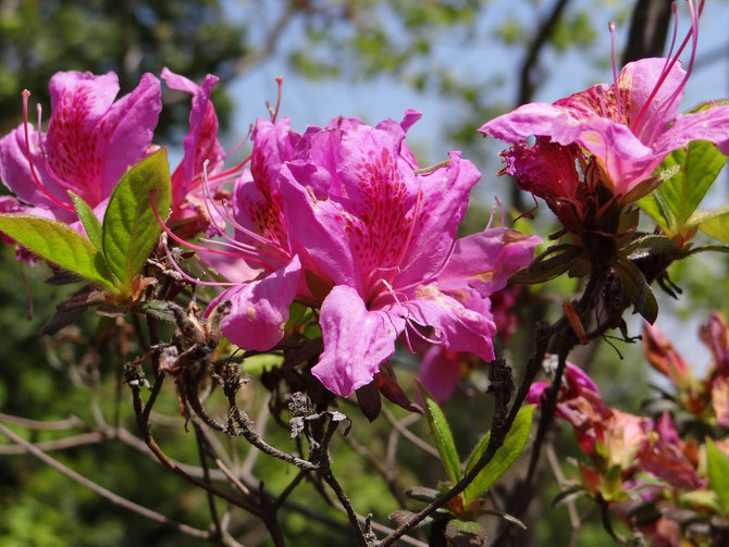 21日モチツツジ咲き始める、クロアゲハが舞っている。