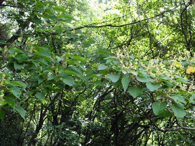 入り口にアカメガシワのオス、メスの木が並んでいます、花の違いをご覧ください、オスは控えめです。