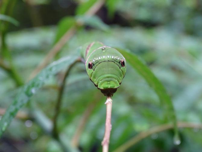 この細い枝に大きな幼虫が静々と前進していました、目線を合わせると、昔の新幹線のこだまみたい。