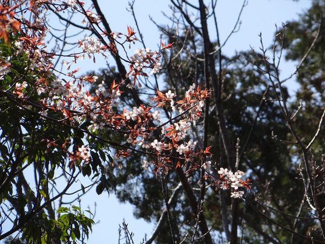 集合場所のヤマザクラも咲き始めています。