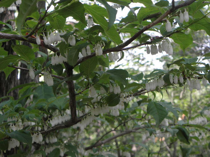 白い小さなネジキの花