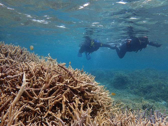 枝サンゴ シュノーケル