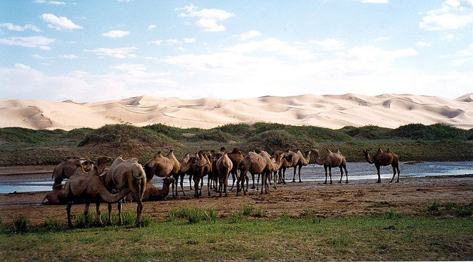 Chameaux dans la steppe en Mongolie. Au loin, les dunes du désert de Gobi.By Doron/wikicommons [CC BY-SA 3.0]