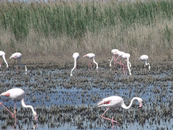 Flamands rose dans l'étang de Vaccarès. By Ell Brown/Wikimedia/Flickr [CC BY-SA 2.0 http://creativecommons.org/licenses/by/2.0/]