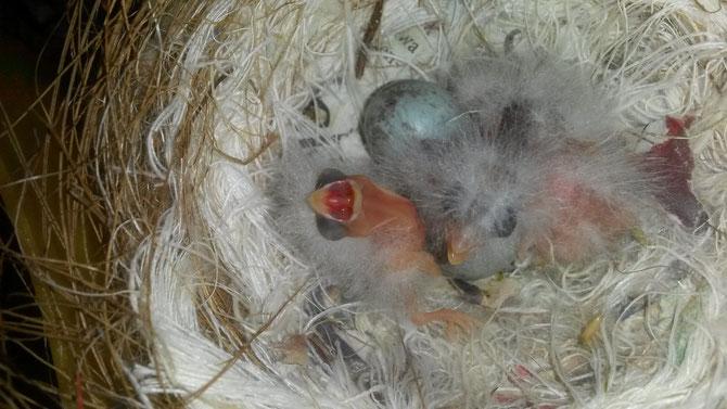 Die ersten Jungvögel (DR) 2015;                    Züchter: P. Knoll