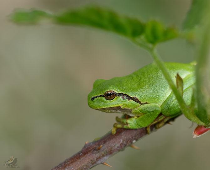 De boomkikker - European treefrog.