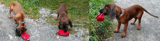 Welpe Leska, (schnüffeln - anfassen - aufnehmen) hat sofort begriffen, wozu das rote Ding zu gebrauchen ist.