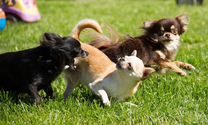 Chihuahuas von den kleinen Piraten