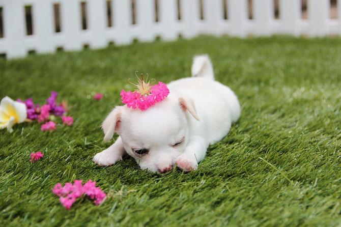 Chi-Love.de | Blog | Chihuahua | Welpe | weiß |