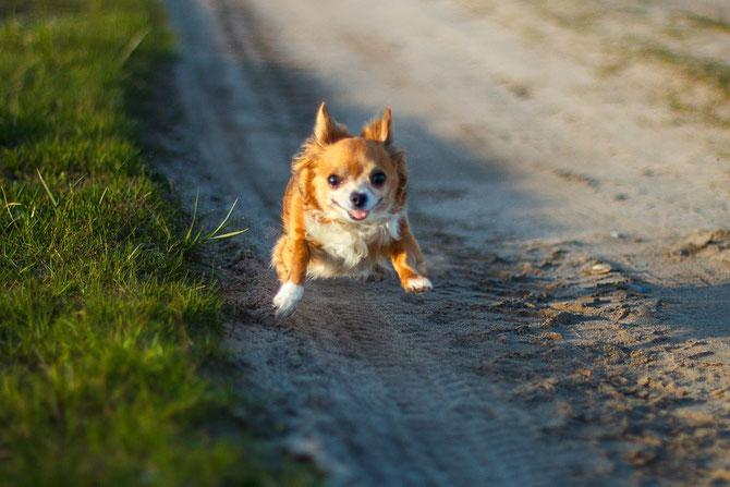 Chi-Love.de   Power Food für Deinen Hund