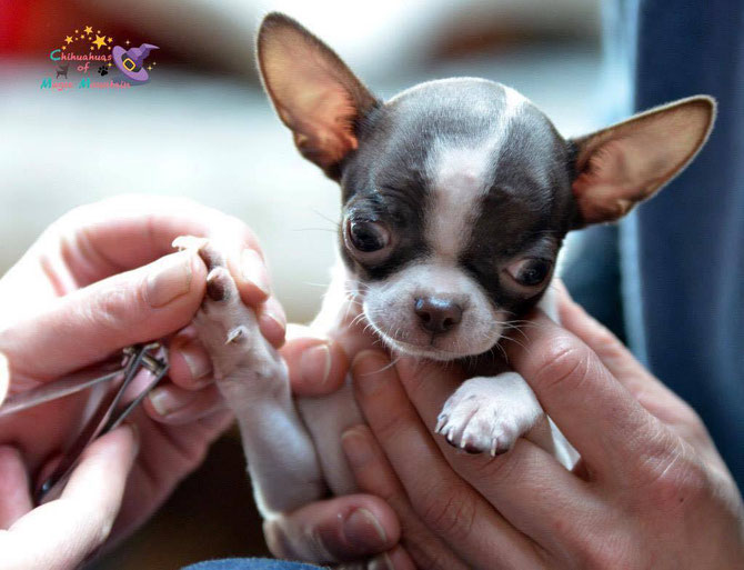 Chi-Love.de | Chihuahua | Krallenschneiden