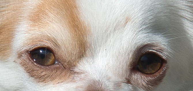 Chi-Love.de | Verfärbungen im Fell durch Traenenfluessigkeiten bei Chihuahua und kleinen Hunden