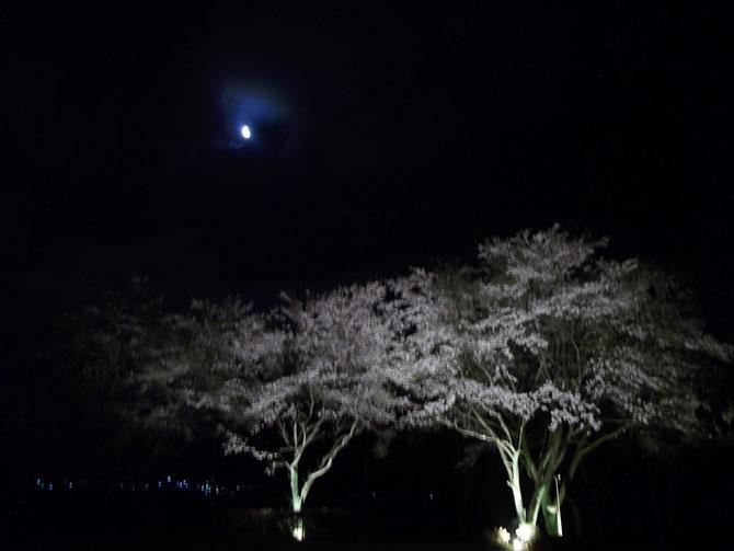 2016/04/02早朝のライトアップされた桜と月