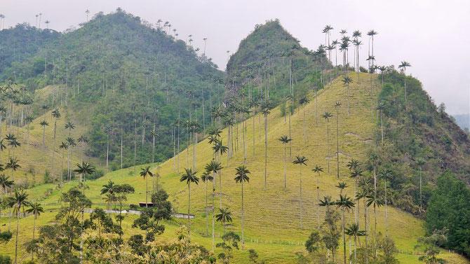 Die filigrane bis zu 60m hohe Wachsplame wurde zum Nationalbaum Kolumbiens erkoren.