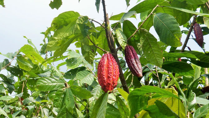 Kakao, eine der wichtigsten und wertvollsten Planzen in Ecuador.