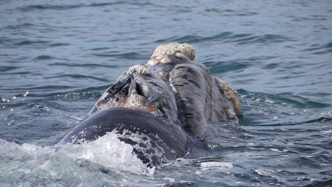 Um die Nasenlöcher der bis zu 16 m langen und bis zu 54 Tonnen schweren Bartenwale sehen zu können. :-)