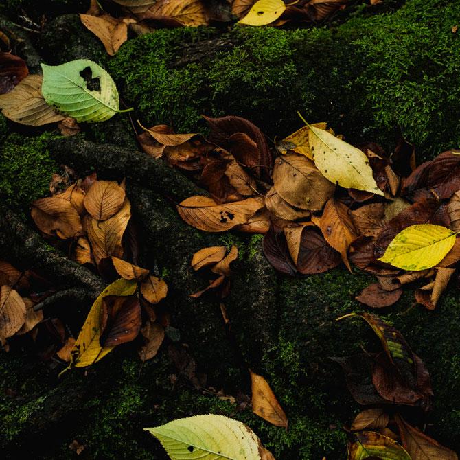 桜の落ち葉と地面の苔