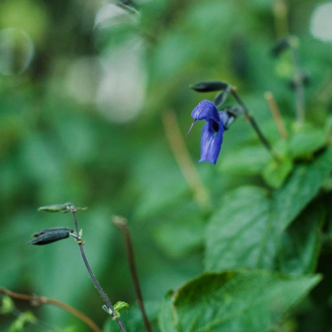 サルビア?青い花