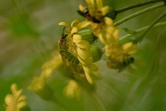石蕗の花の蜜を集めに(竹工芸家 初田徹 BLOG)