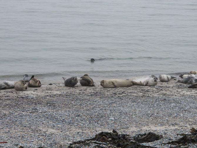 """Seehundkolonie auf der """"Düne"""" Helogland"""