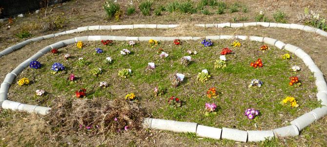 春を待つ花壇・苗の時から美しい彩り! 住民の皆さんがだんだん公園で取り組む。