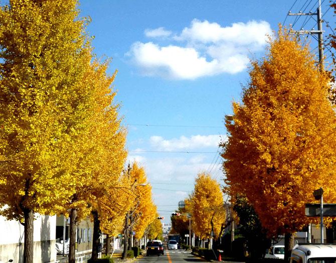 黄金色に輝くイチョウ並木・・街に風格を与えてます。