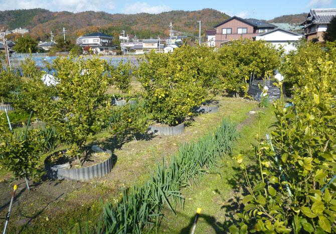 里山を望む白島のオーガニック・レモン畑。手前のおネギもオーガニックで販売