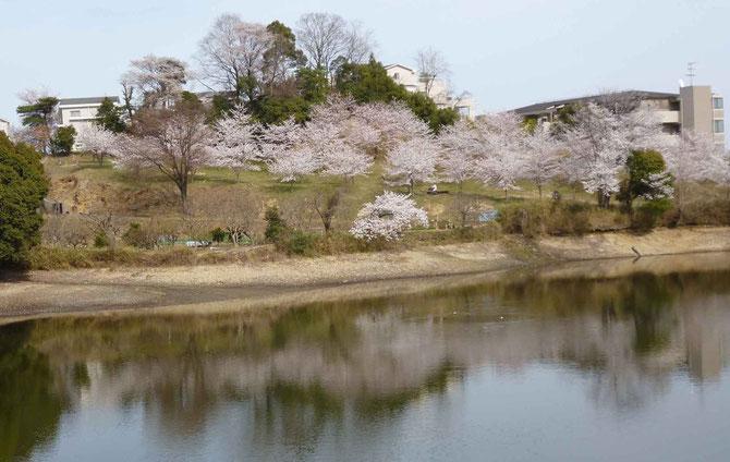 市民+農家の協働で誕生した「とんど山桜園」の姿を写す「薩摩池」。