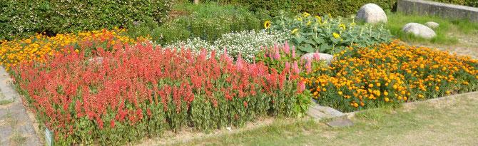 密生して咲いたサルビア(赤)の花