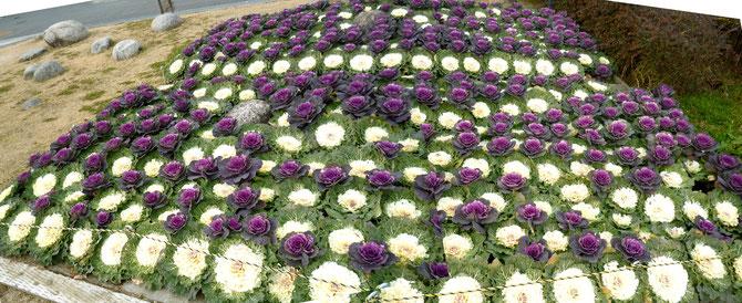 パノラマ:葉ぼたん花壇(古井戸公園)