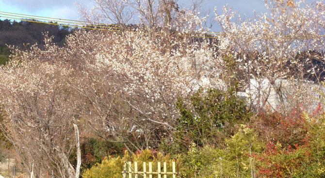 里山(六個山=ろっかやま)を背景に・・冬に咲く桜の風景