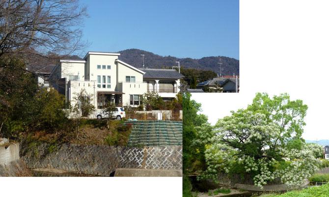 """""""センダンの大木""""があった場所の今。右下はありし日の姿(白い花が咲いてます)"""