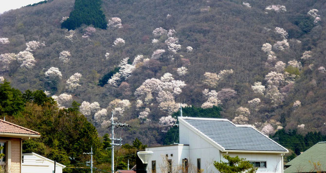 目前に迫る山桜群