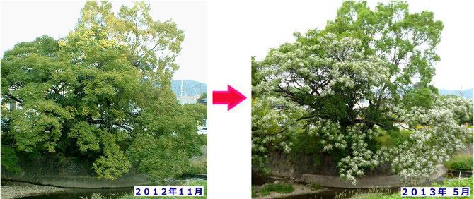 正面からの姿は昨年11月(左)と今年5月(右)とはほぼ同じ。背後は大枝が切られ迫力を失ってますが・・。